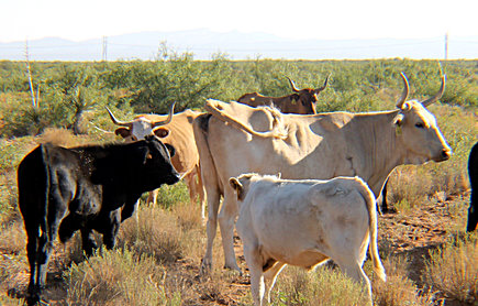 Criollo Crossbreed Cows